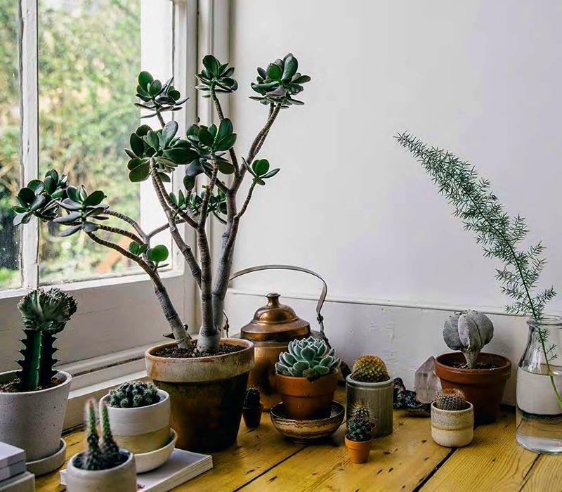 Cura delle Piante Grasse Succulente